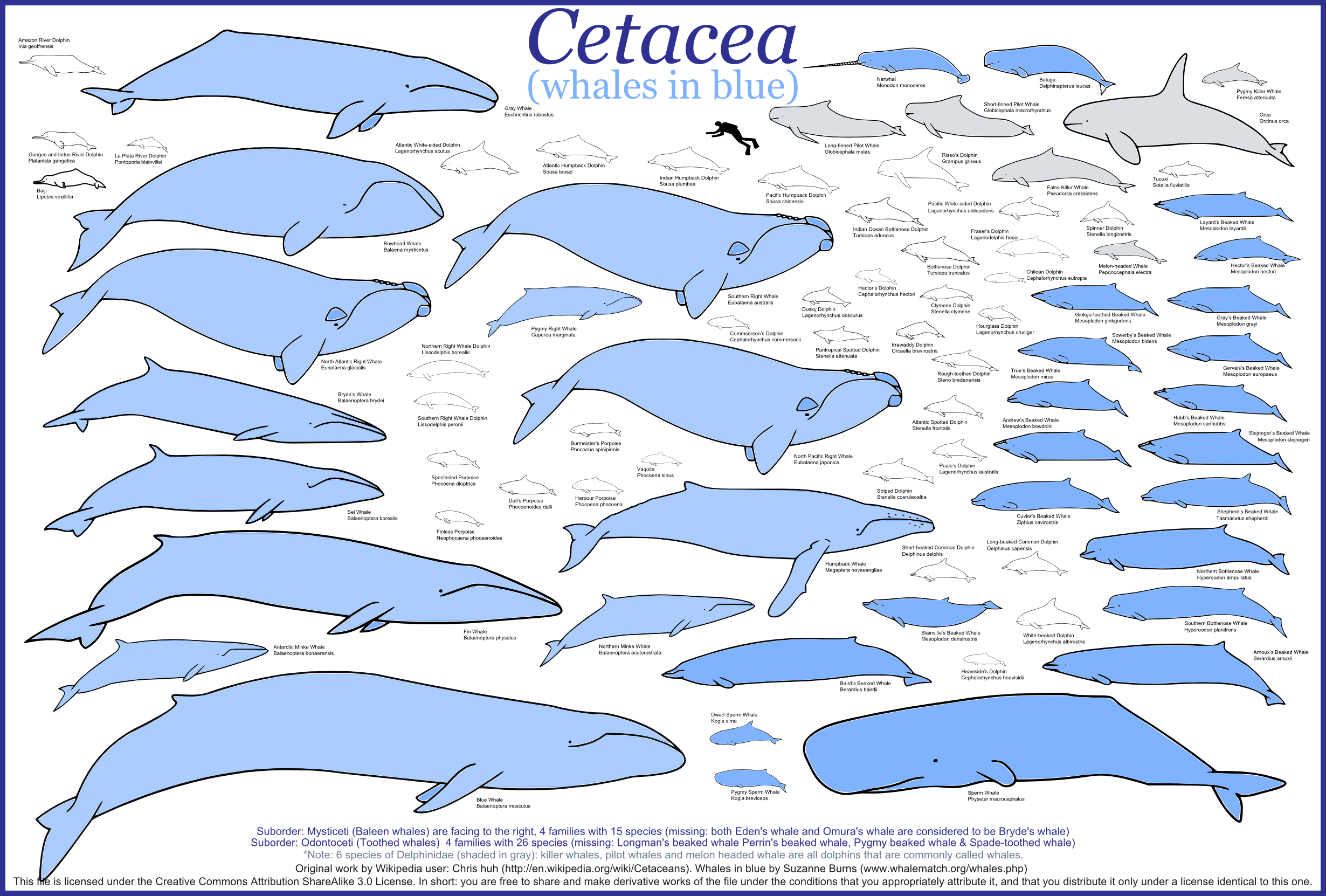 Blue+whale+size+comparison+chart